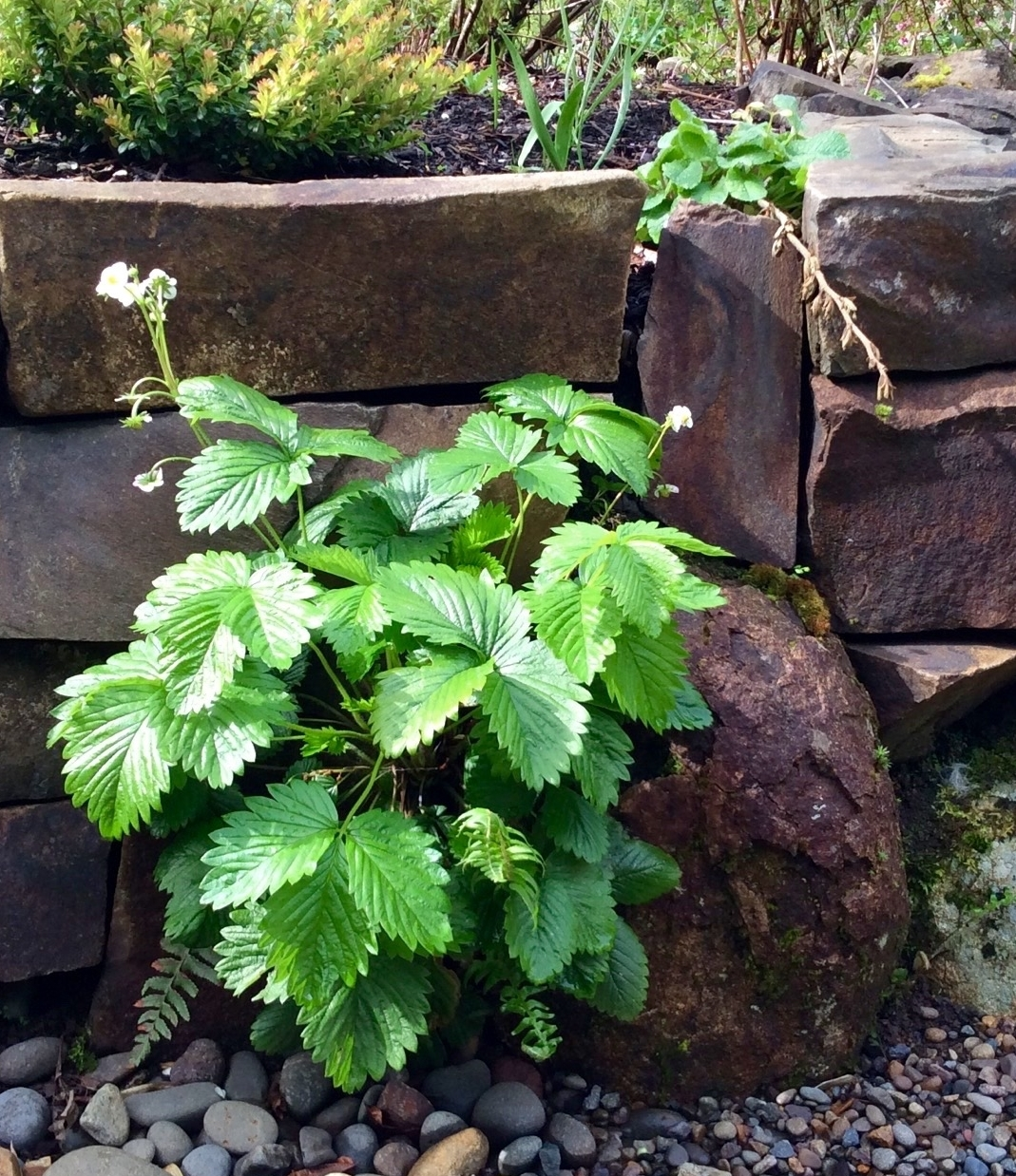 Alpine Strawberry 'Mignonette'  growing in a stone wall in the Coast Range