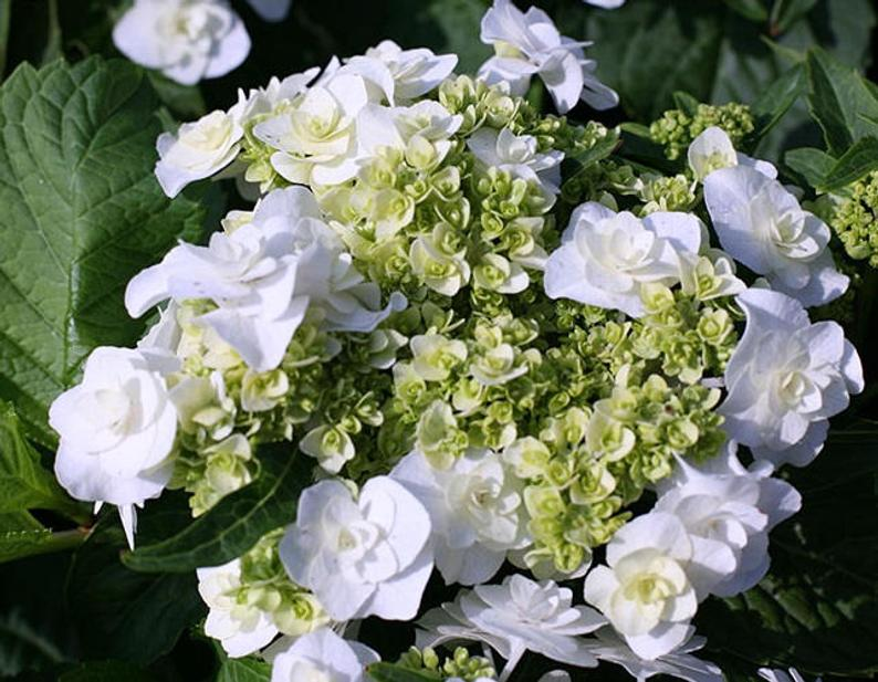 'Wedding Gown' - Each flower it's own bridal bouquet