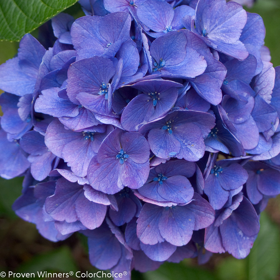 Cityline 'Vienna' - Check out cityline series for more compact shrubs