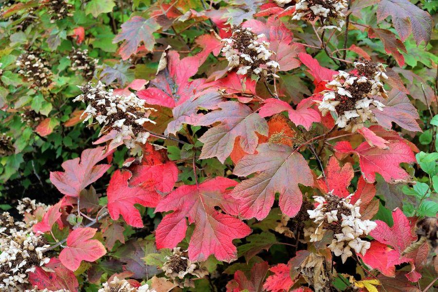 Oakleaf - Fall color, interesting foliage