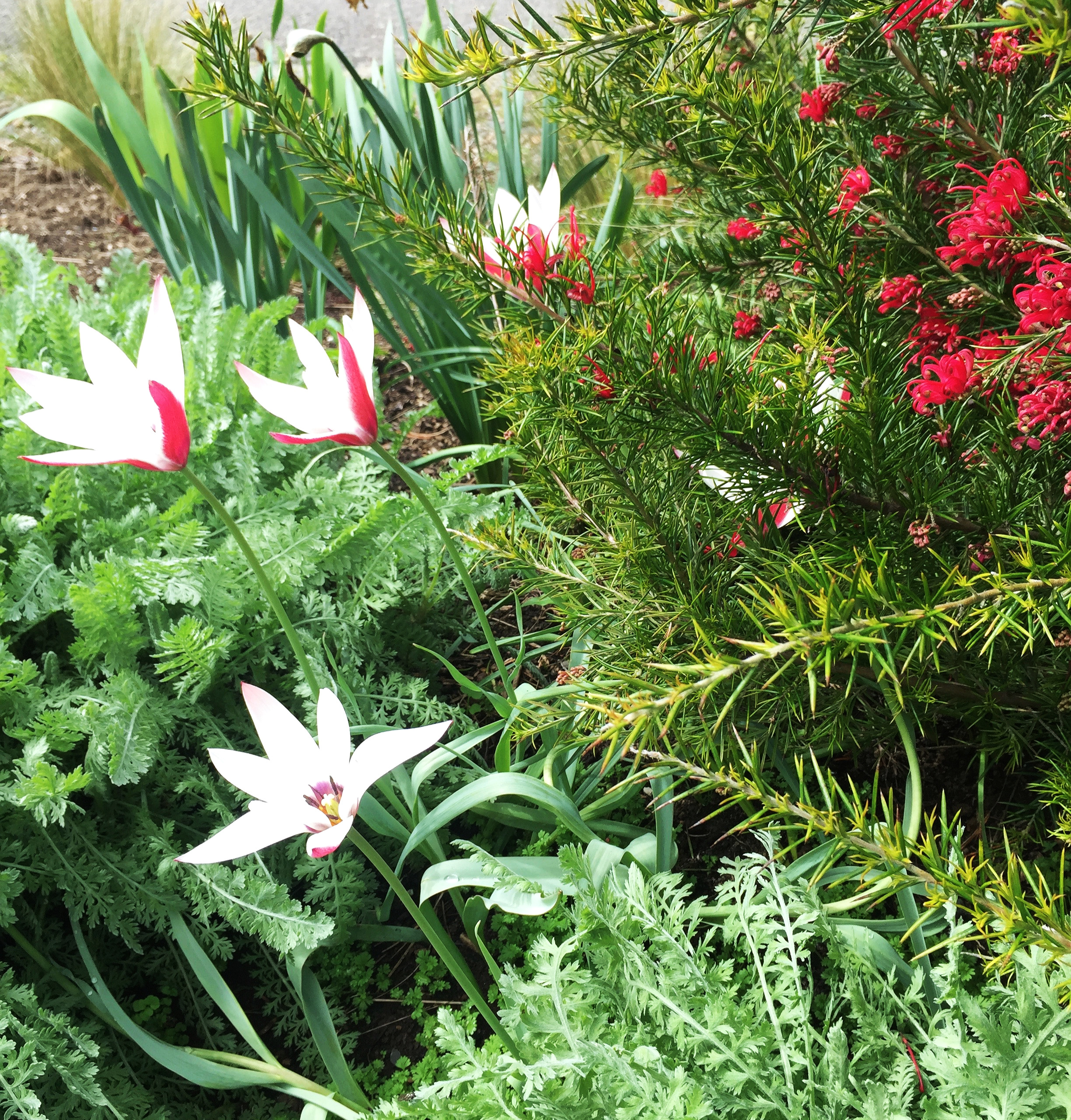 Grevillea 'Canberra Gem', Tulip 'Peppermint Stick, amidst fern-like silver foliage of Achillea 'Moonshine'