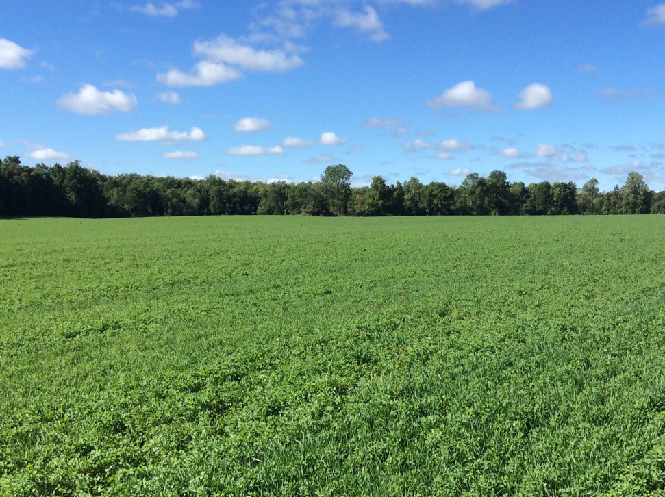 Alfalfa keeps the ground covered and provide for multiple cuttings over 3 years.