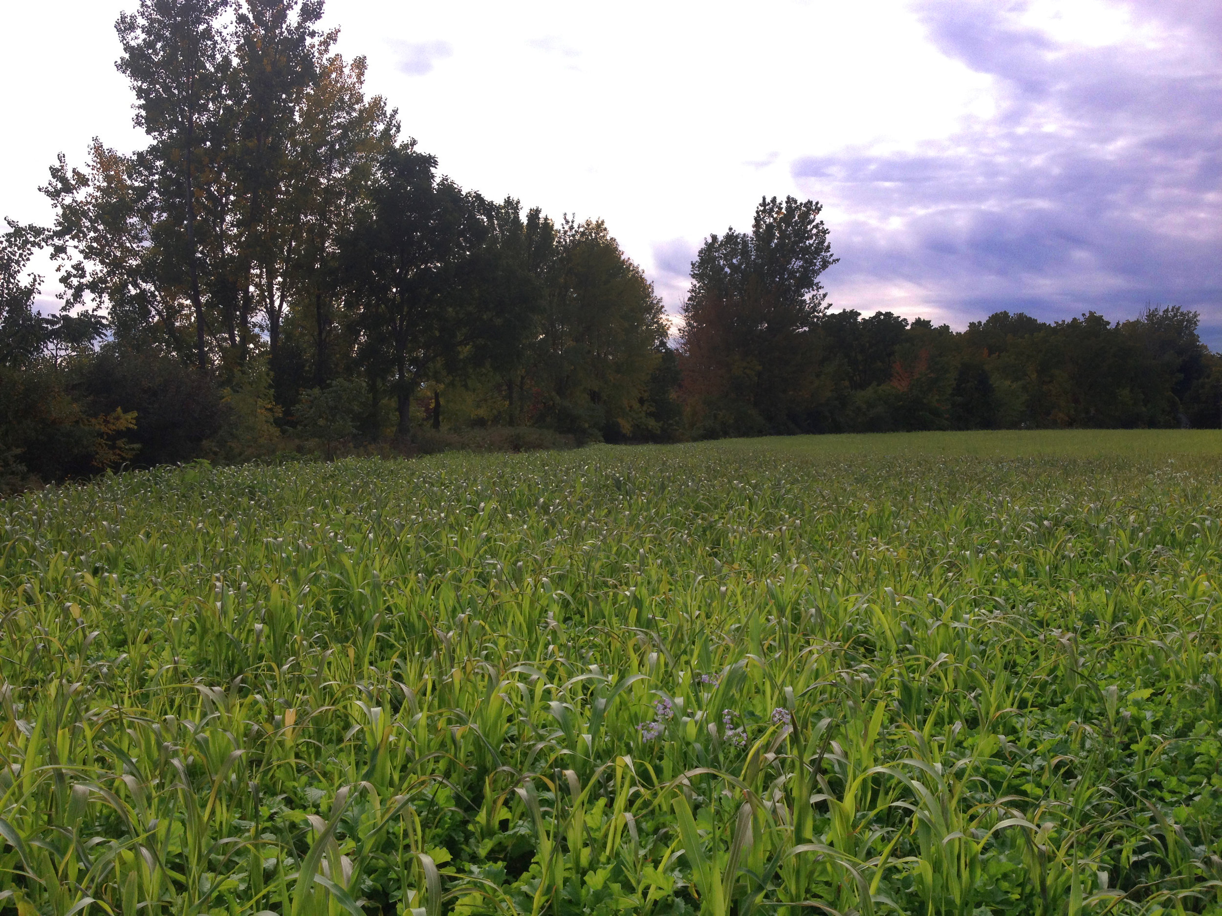 One of Toussaint's fields in an elaborate multi-species cover crop mix in September 2016. Photo by Jena Buckwell.