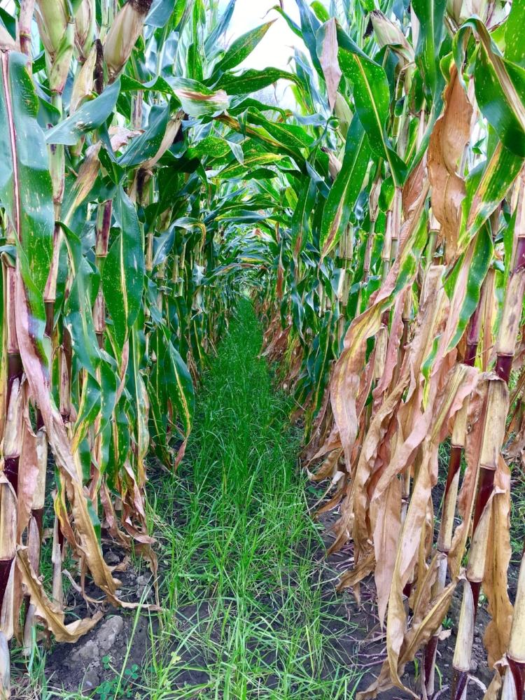 Inter-seeded Corn