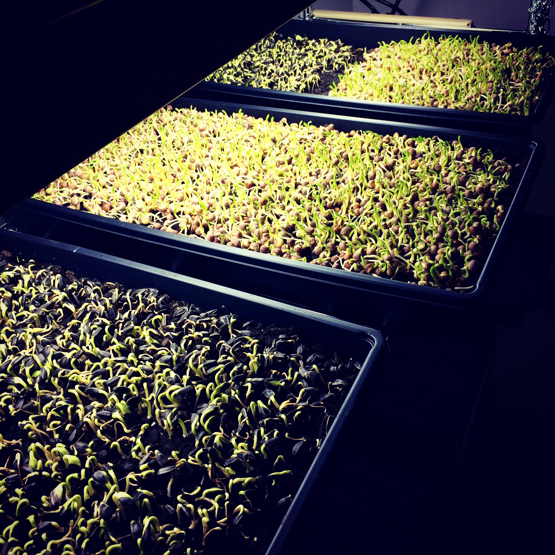 Trays of sunflower and pea microgreens
