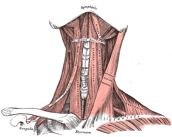 Subclavius posticus