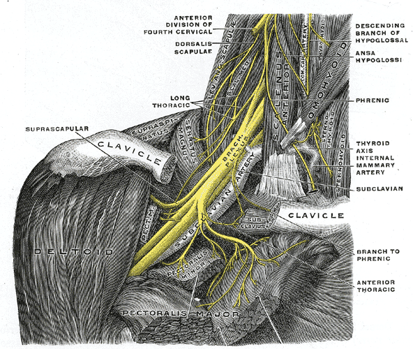 The brachial plexus viewed from the front.