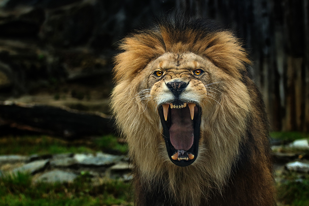 lion-roar_as214676119.jpg