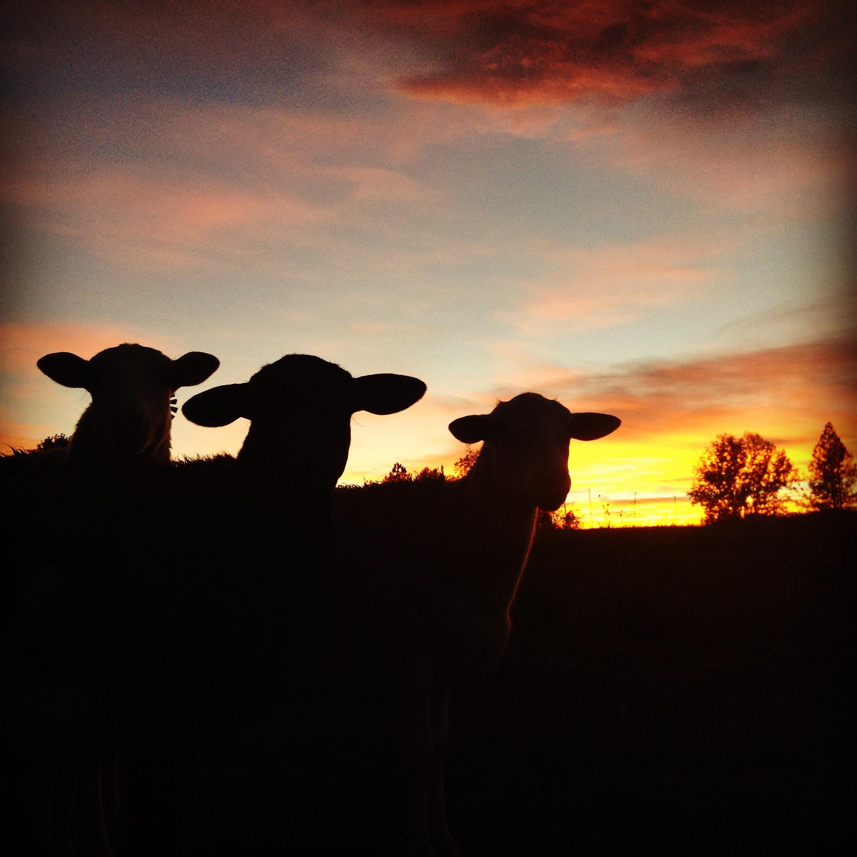 Rogue-Lambs.JPG