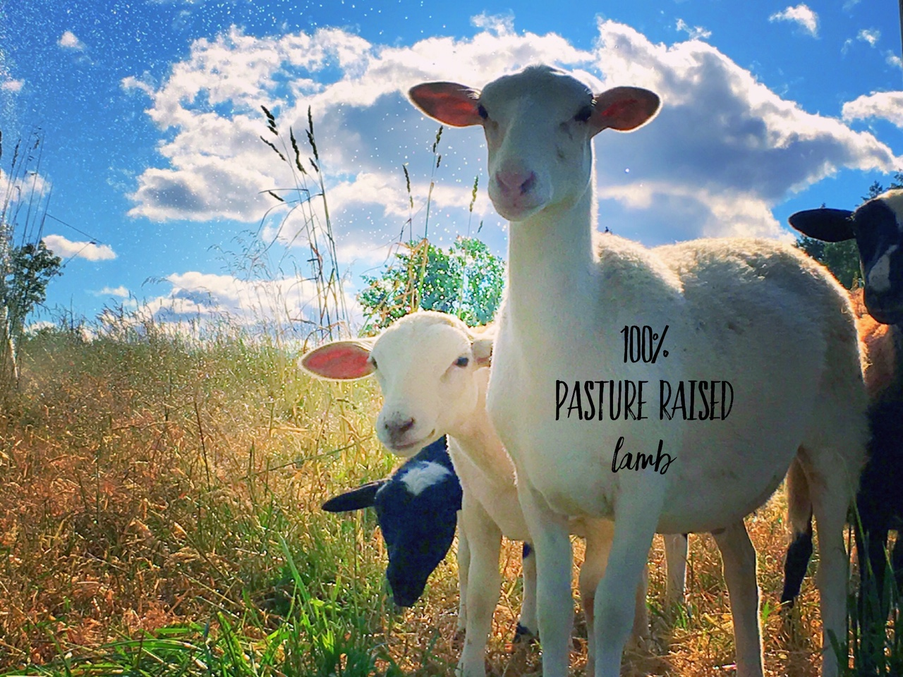 100%_pasture_raised_lamb.jpg