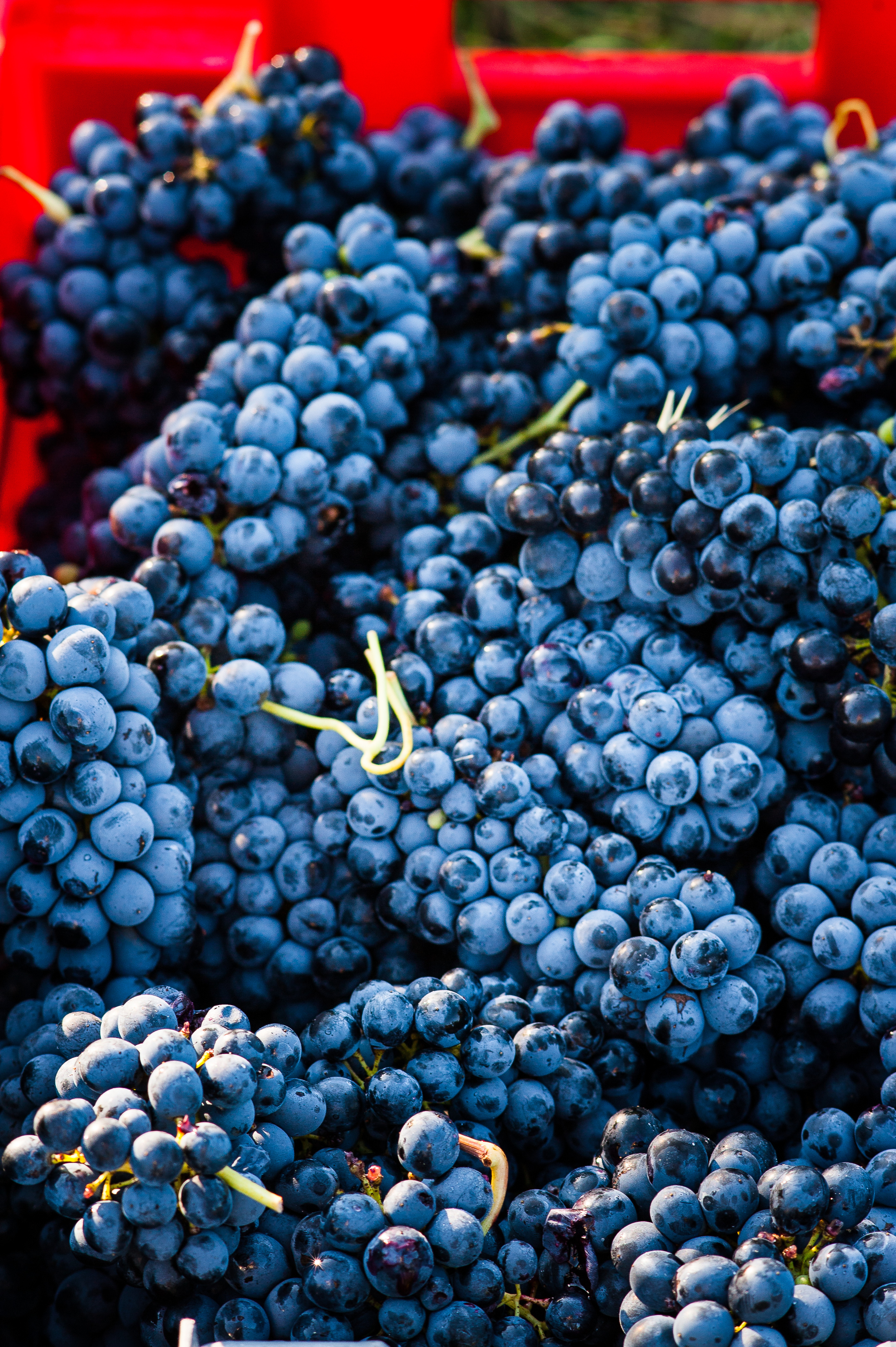 Syrah Harvest 6.jpg