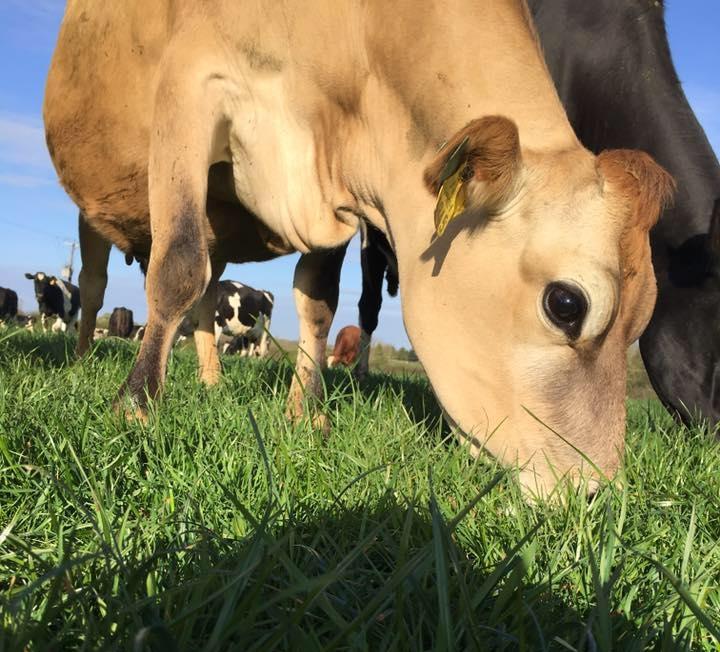 Shelby Farm cow.jpg