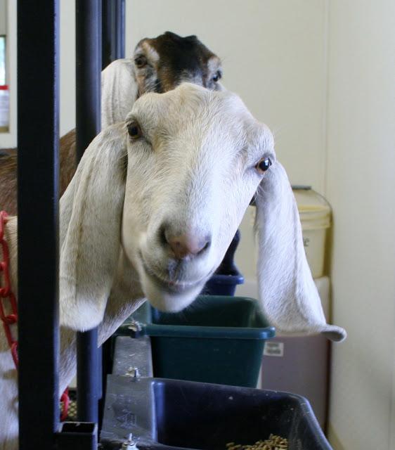 Coursey Family Farm goat.jpg