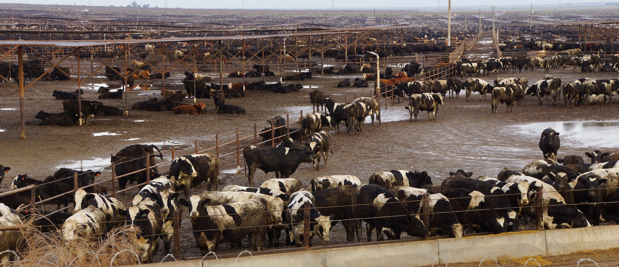 Intense Animal Agriculture and Antibiotic use  Dairy cows in a feedlot operation. Australia doesn't have many of them, but they do exist, and may not look exactly like this. The feed can consist of large amounts of grains which may have been sprayed with agrochemicals. These may damage the rumen (the terrain inside the cow) because the active ingredients may  act like an antibiotic  killing off the gut microbes. The cow's gut is a fermentation vat powered by microbes. When these are killed it leads to sickness inside the animal. Without gut bacteria mammals become ill and malnourished. They become mineral deficient, mentally depressed, and pathogenic bacteria overgrow. These harmful microbes shed in the faeces, ending up in manure lagoons, rivers and waterways ( example ). This milk has to be pasteurised (sterilised) because it is not safe to consume. Pathogen outbreaks are created by unsustainable farming operations that create diseased animals. These animals have become a vehicle for breeding and spreading disease. Why do global governance allow this sort of thing? Click to enlarge image.