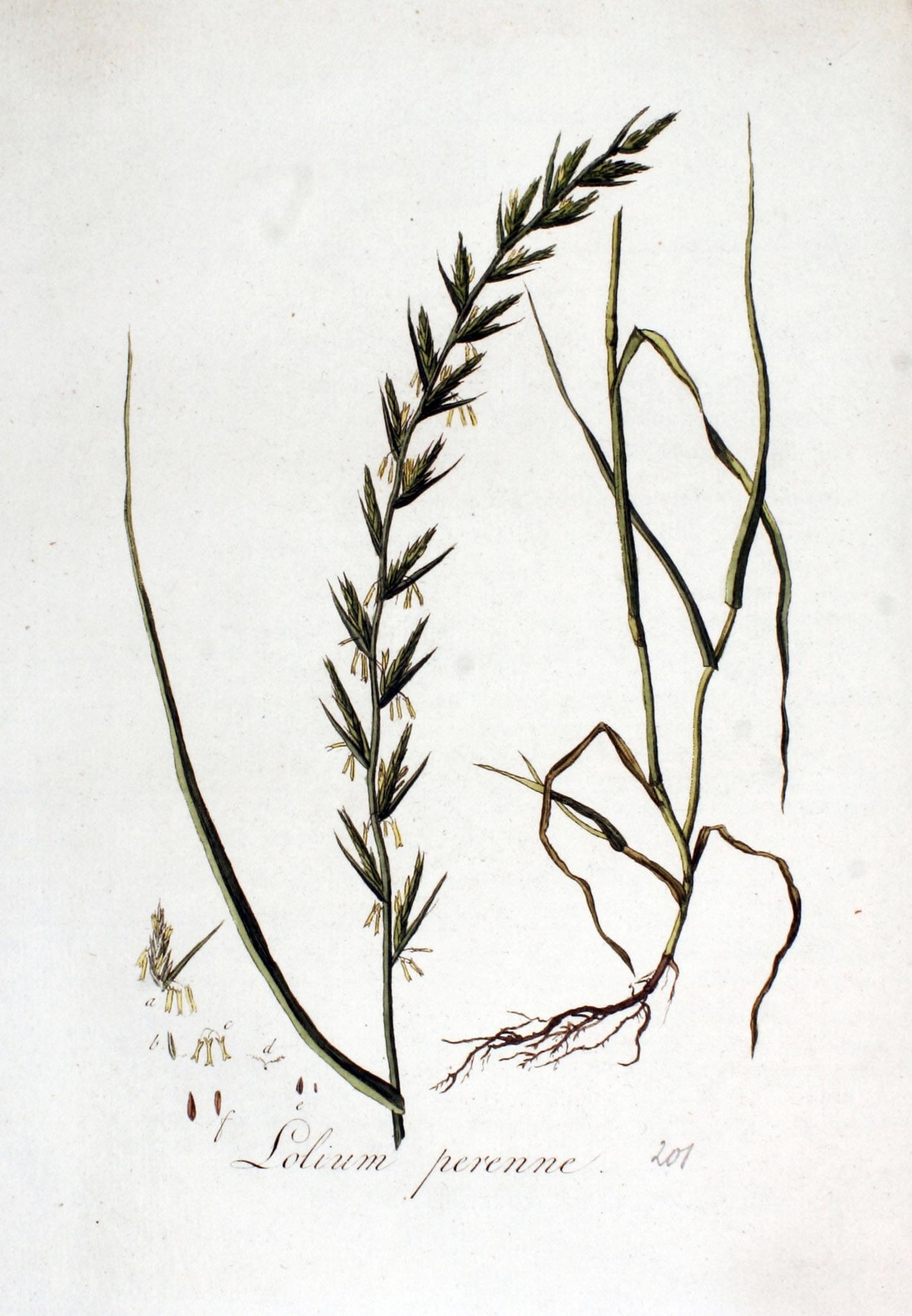 Image:    Lolium perenne , image via Wikimedia Commons.