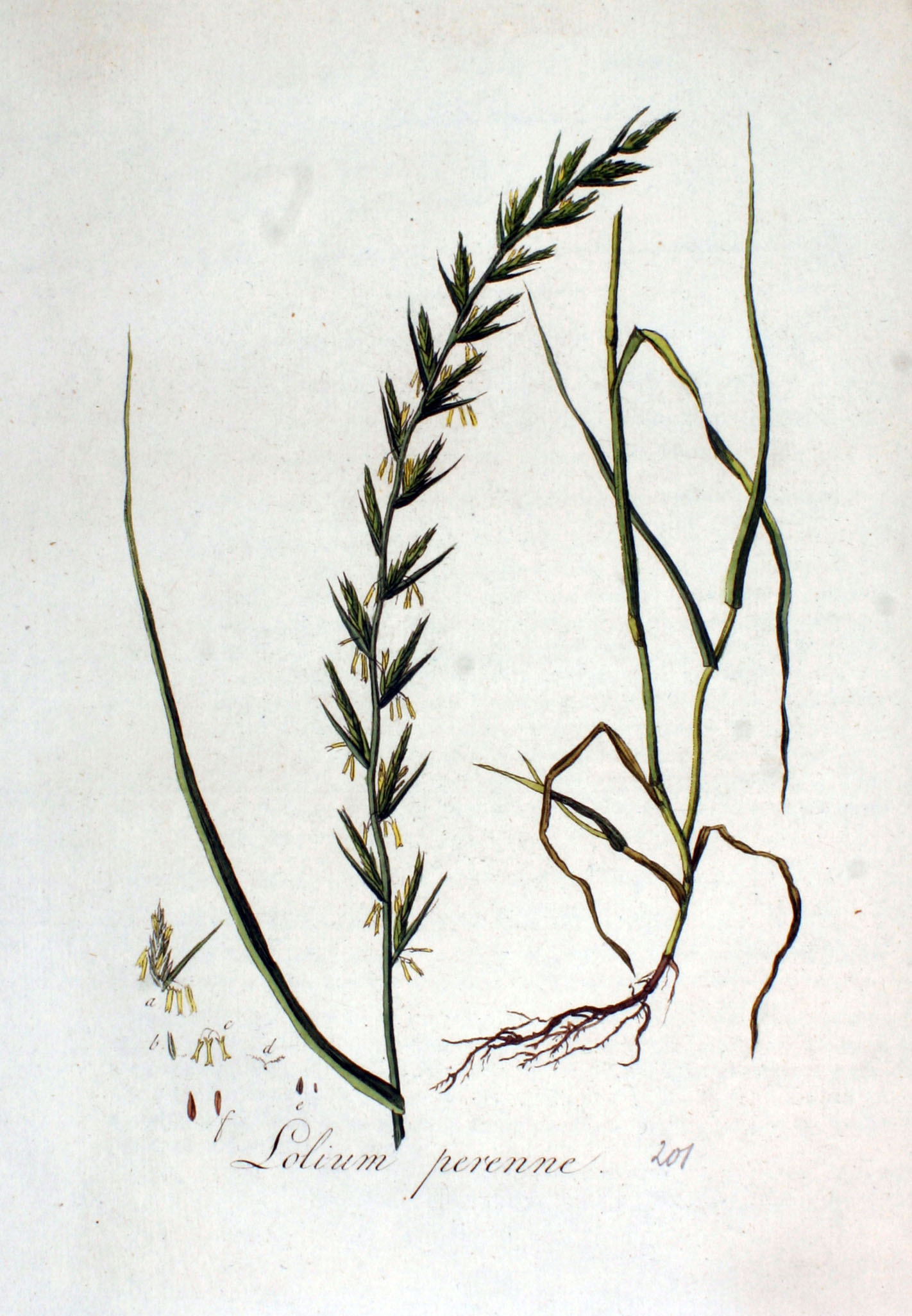 Image:    Lolium perenne  click to enlarge, image via Wikimedia Commons.