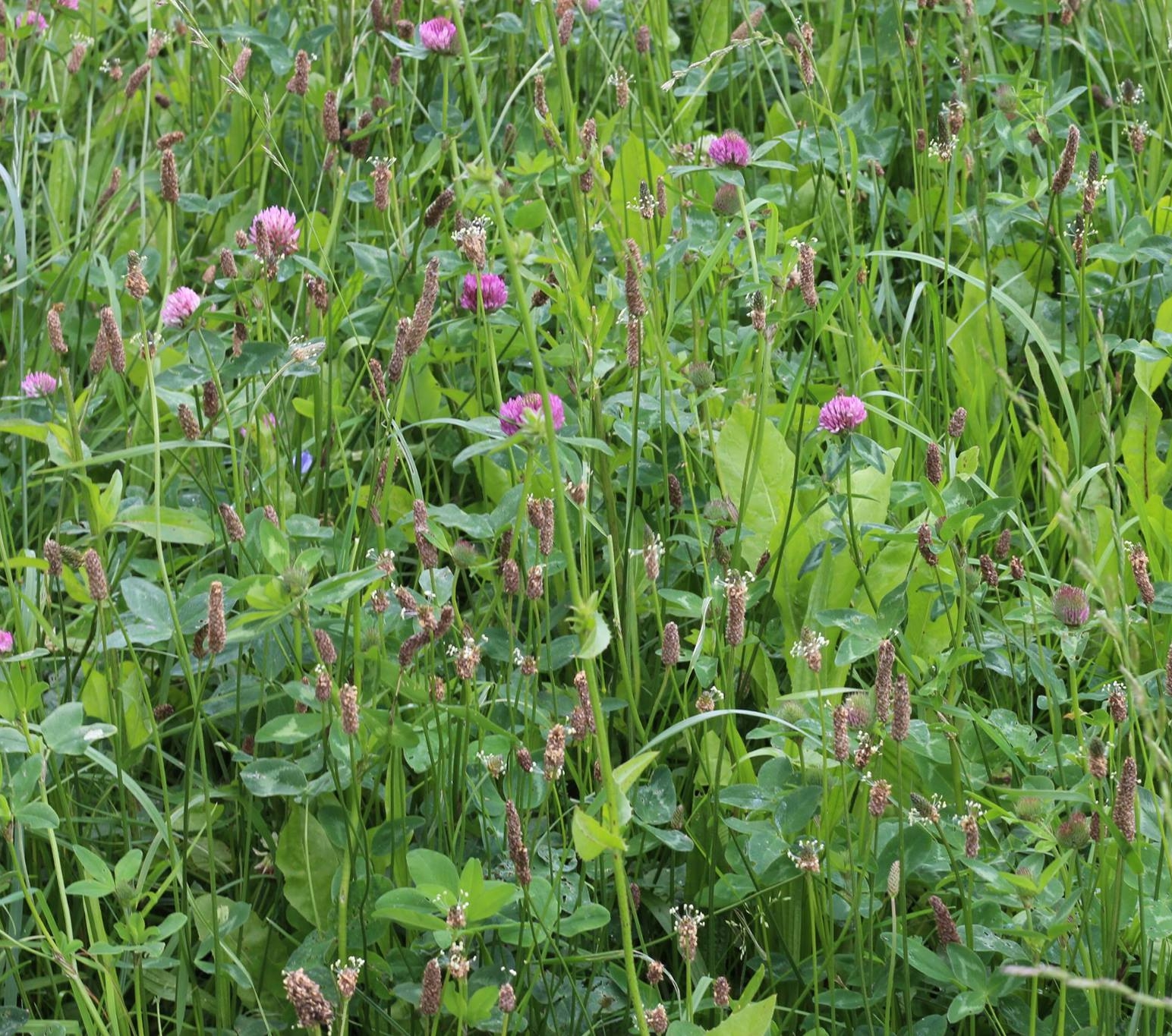 Image:   herbal pasture at Smiling Tree Farm, click to enlarge image.