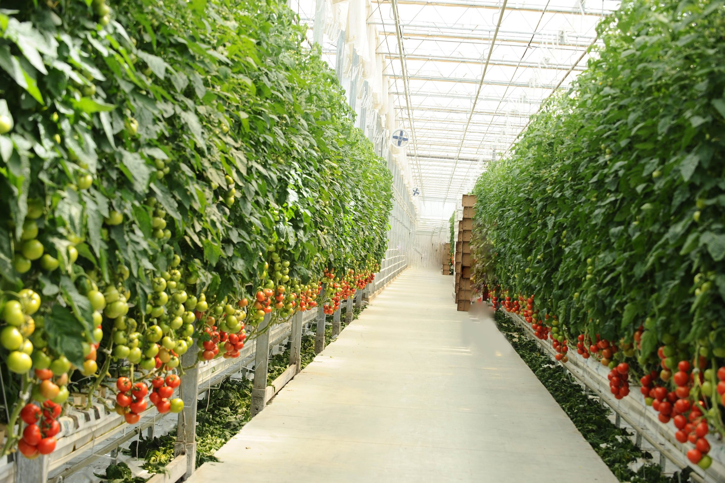 Image  : a hydroponic tomato farm with rows of monoculture (source stock), click to enlarge.