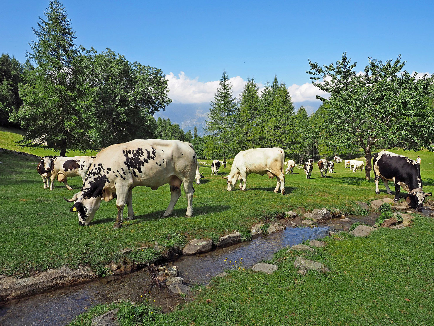 P8310129-le-mucche-al-pascolo-davanti-al-rifugio-Amprimo.jpg
