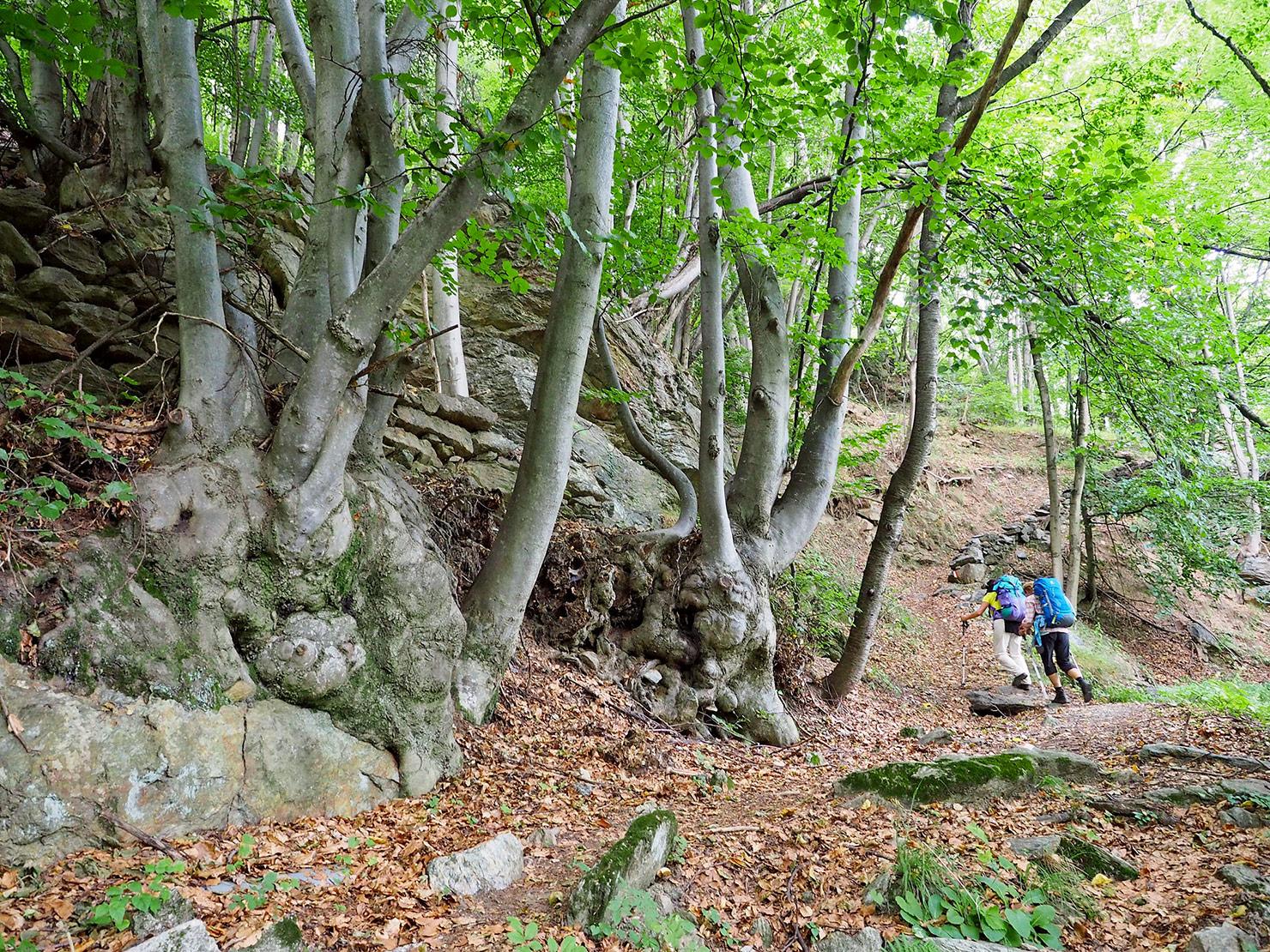 P9041309-attraverso-un-bellissimo-bosco-di-faggi-verso-Adrett.jpg