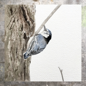 Nuthatch - 5 x 5 on #140 Arches watercolor. Part of the 5 x 5 series. Available for purchase. $45  Found in my shop.