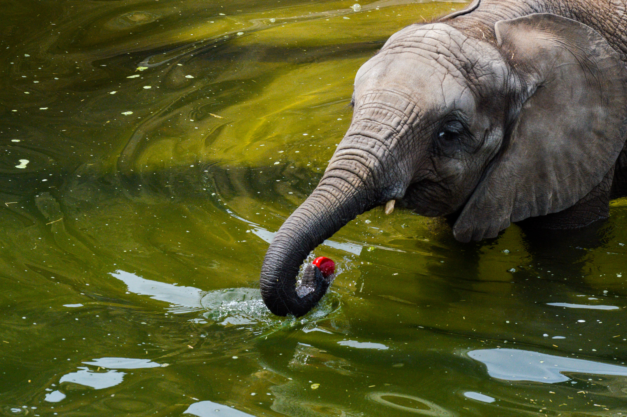 Baby Elephant going for apple