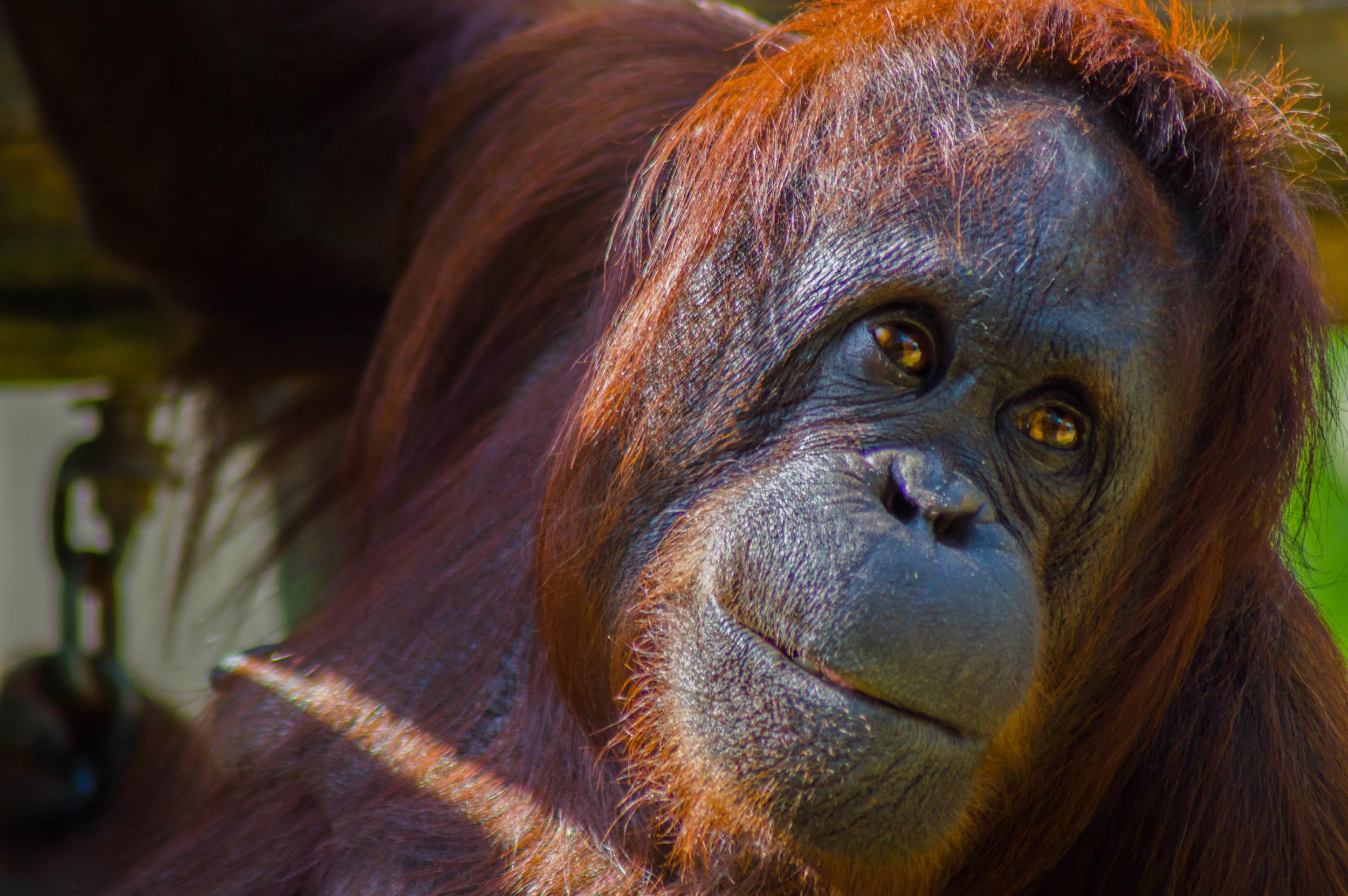 Orangutan: After