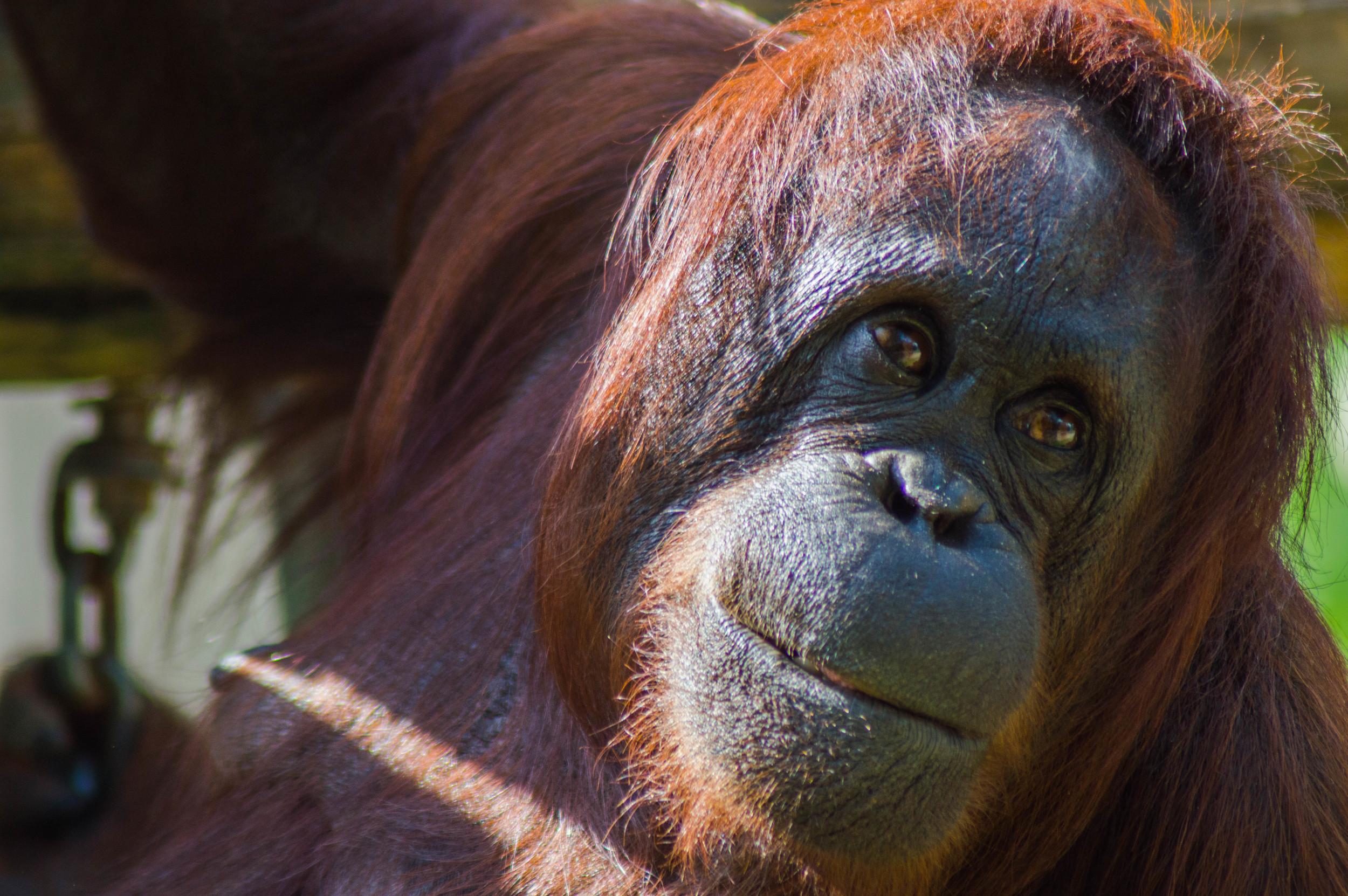 Orangutan: Before