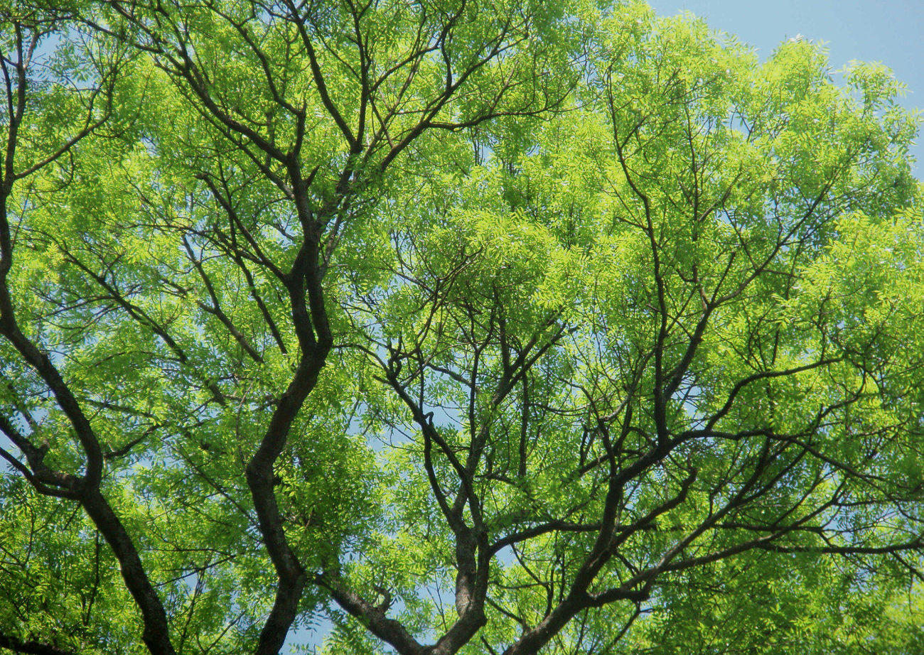 Large Ash Tree Canopy