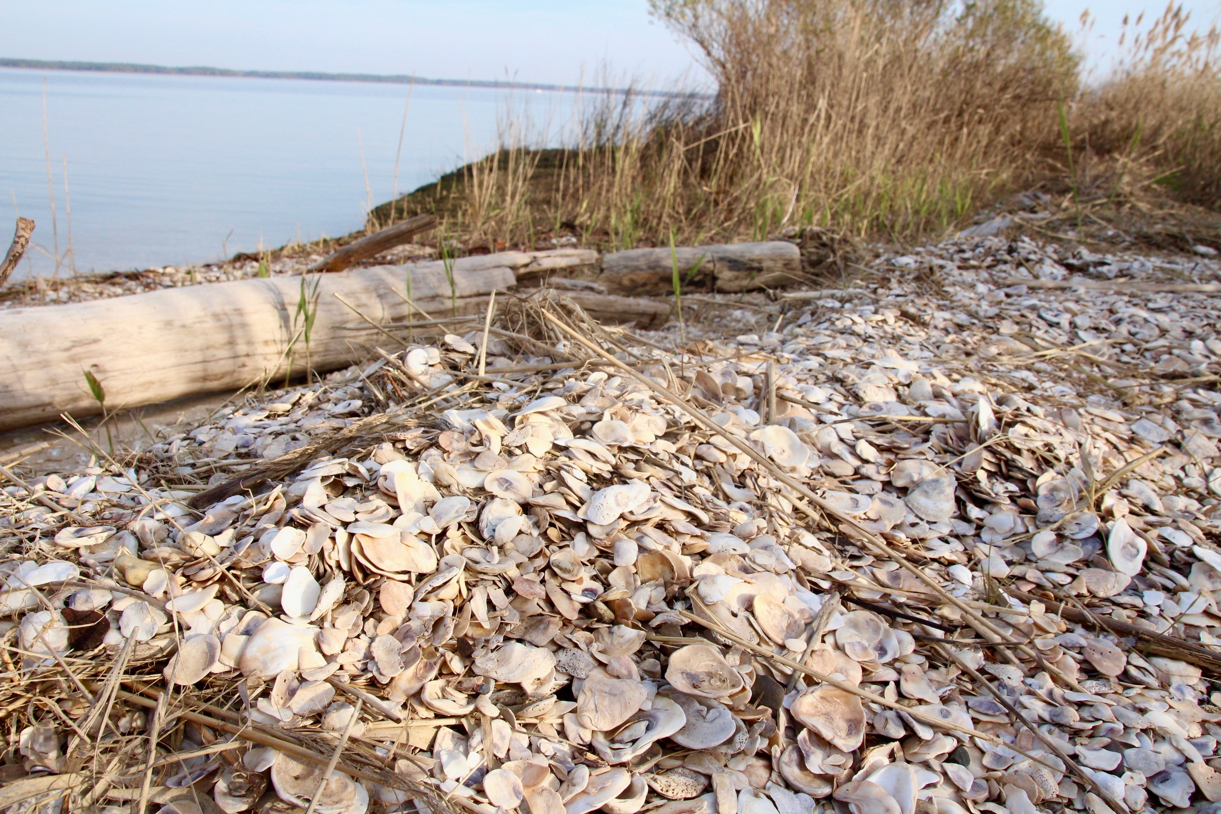 Oyster midden overlooking the Chester River.Image by author.