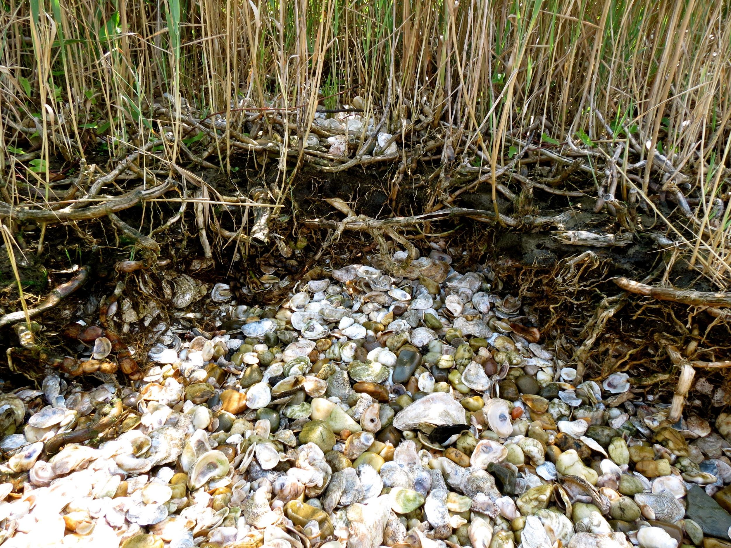 A midden on Eastern Neck Island. Image by author.