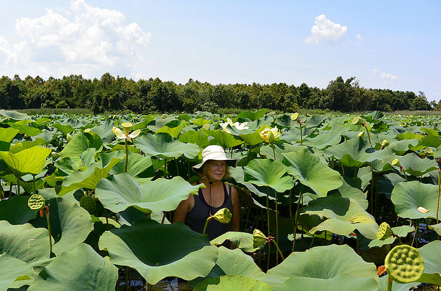 Worth getting wet for- a kayaker swimming in American lotuses on a paddle along the Sassafras River. These native aquatic plants boast the largest blooms of any flower in North America, but lotuses are more than just a pretty face-most parts of the plant are edible. Their enormous leaves have also been known to provide shelter as a makeshift umbrella in Chesapeake summer thunderstorms.   Photo courtesy Bill Thompson.