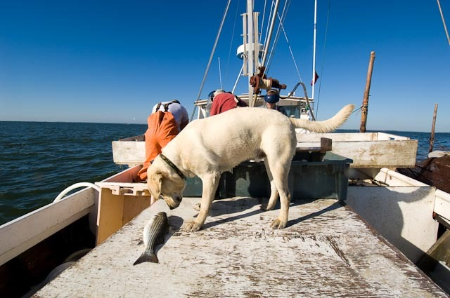 Any waterman will tell you- sometimes the best action happens away from the dock! This yellow lab takes an unsupervised opportunity to get up close and personal with a striped bass (or rockfish, to us Chesapeake people).    Photo courtesy Walt Hubis, flickr:  http://bit.ly/1hhozi7