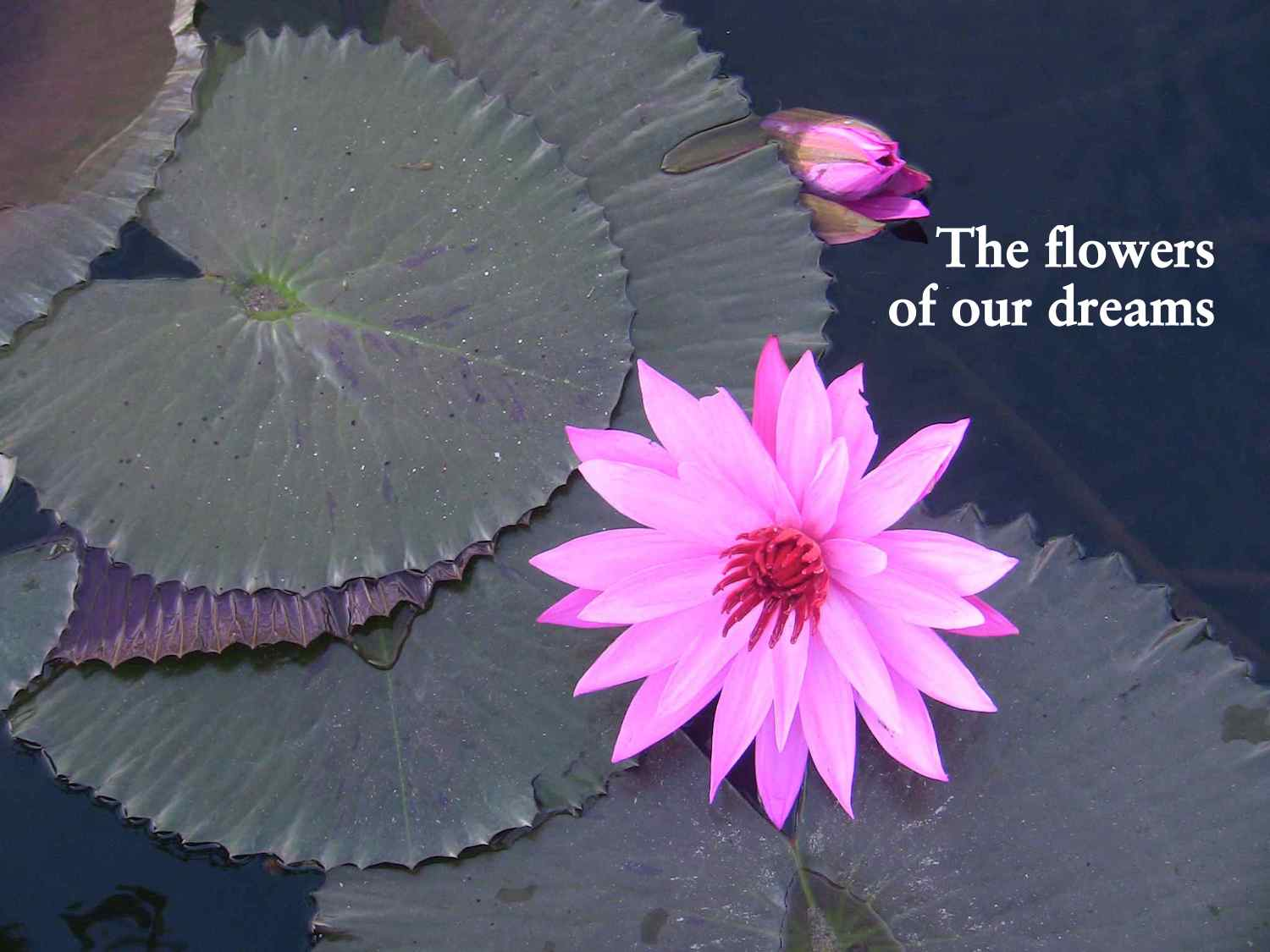 the flowers of our dreams