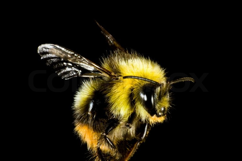 2111187-close-up-of-bumble-bee-before-black-background-the-insect-is-very-hairy.jpg