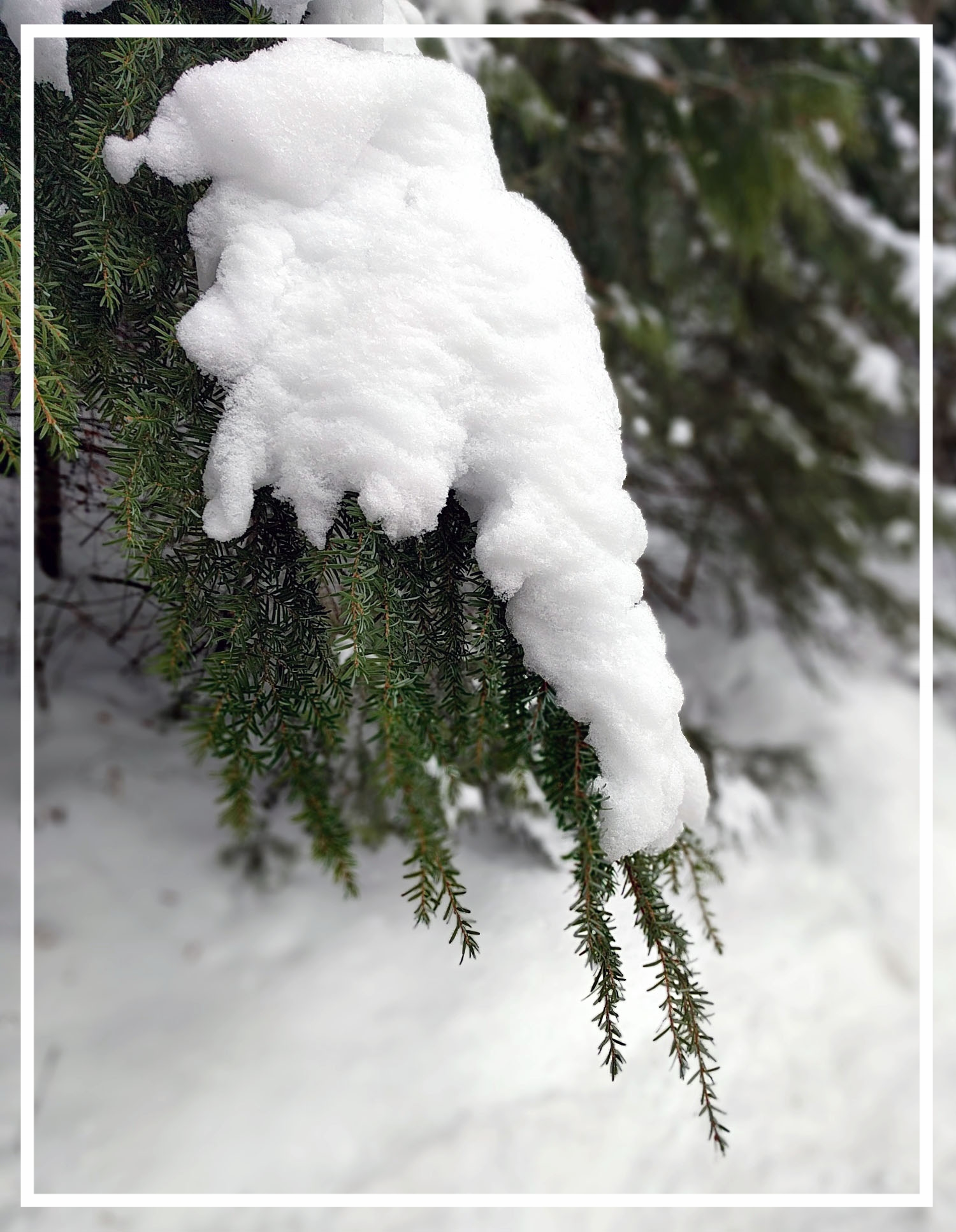 Western hemlock's delicate evergreen foliage provides interest throughout the winter.