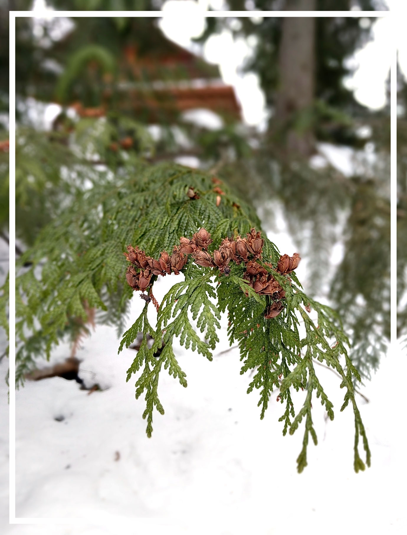 The small cones of western red cedar hold seeds for a wintertime snack.