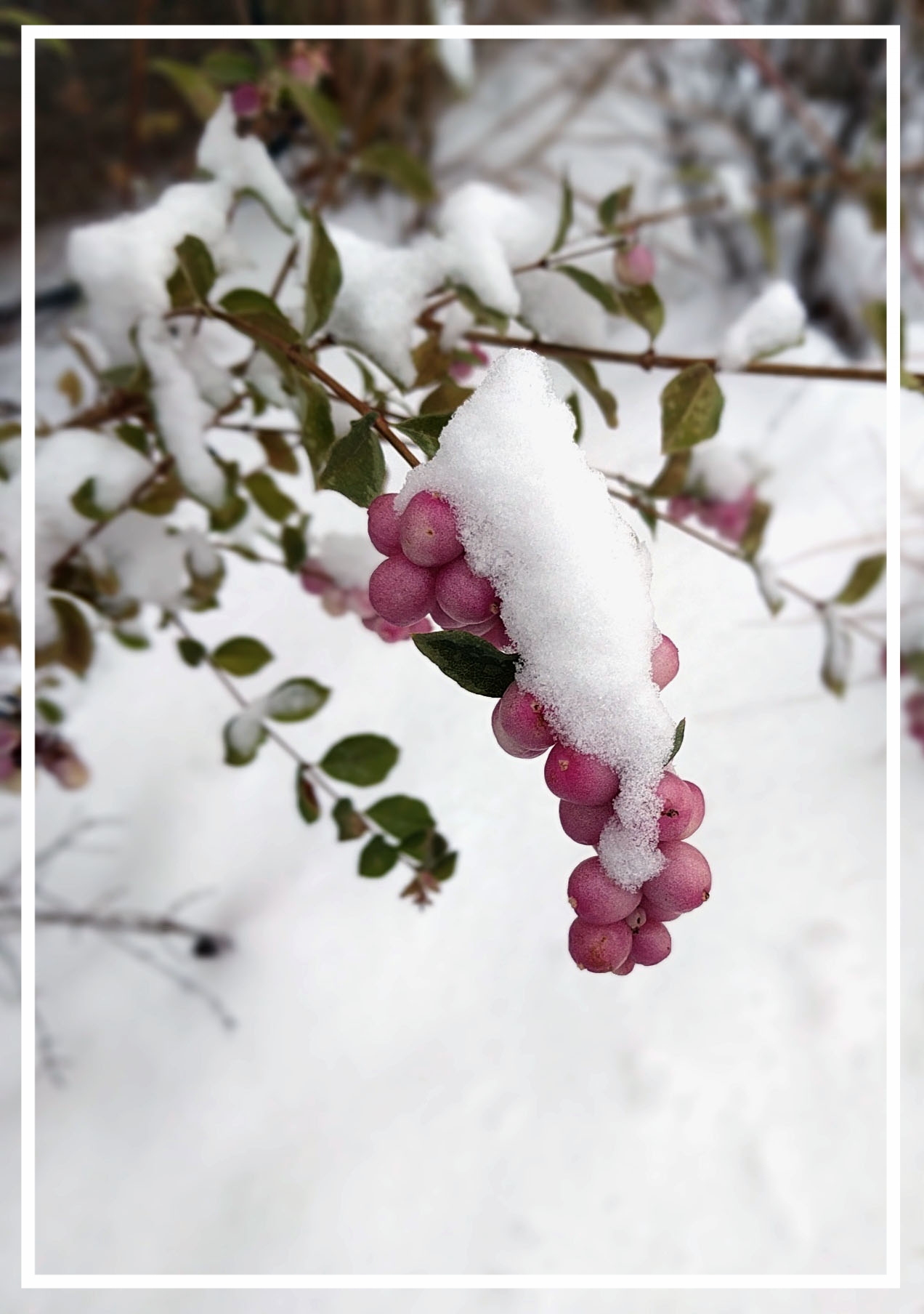 This hybrid coralberry holds its bright berries well into winter.