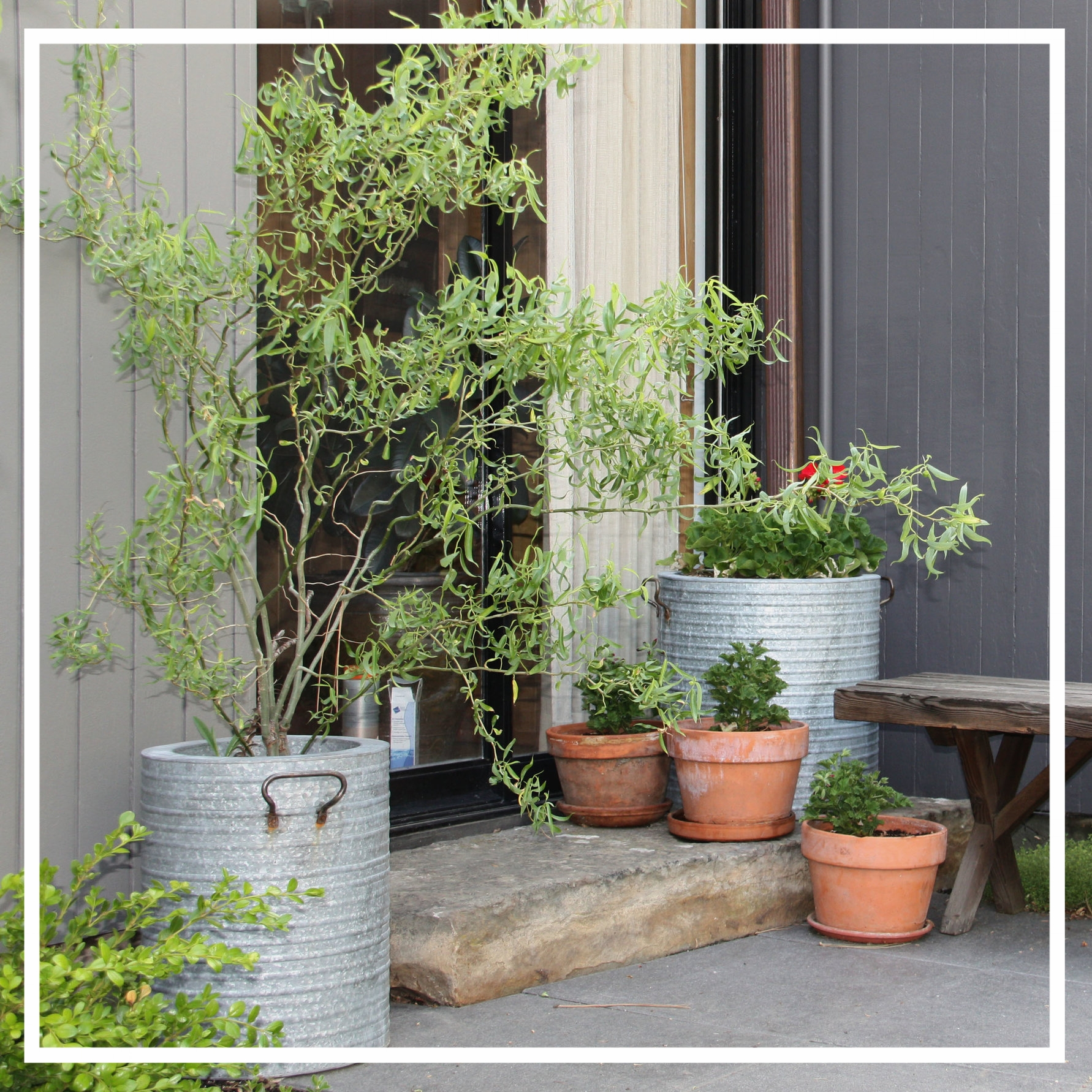Corkscrew willow is an excellent choice for containers, because it tolerates heavy pruning