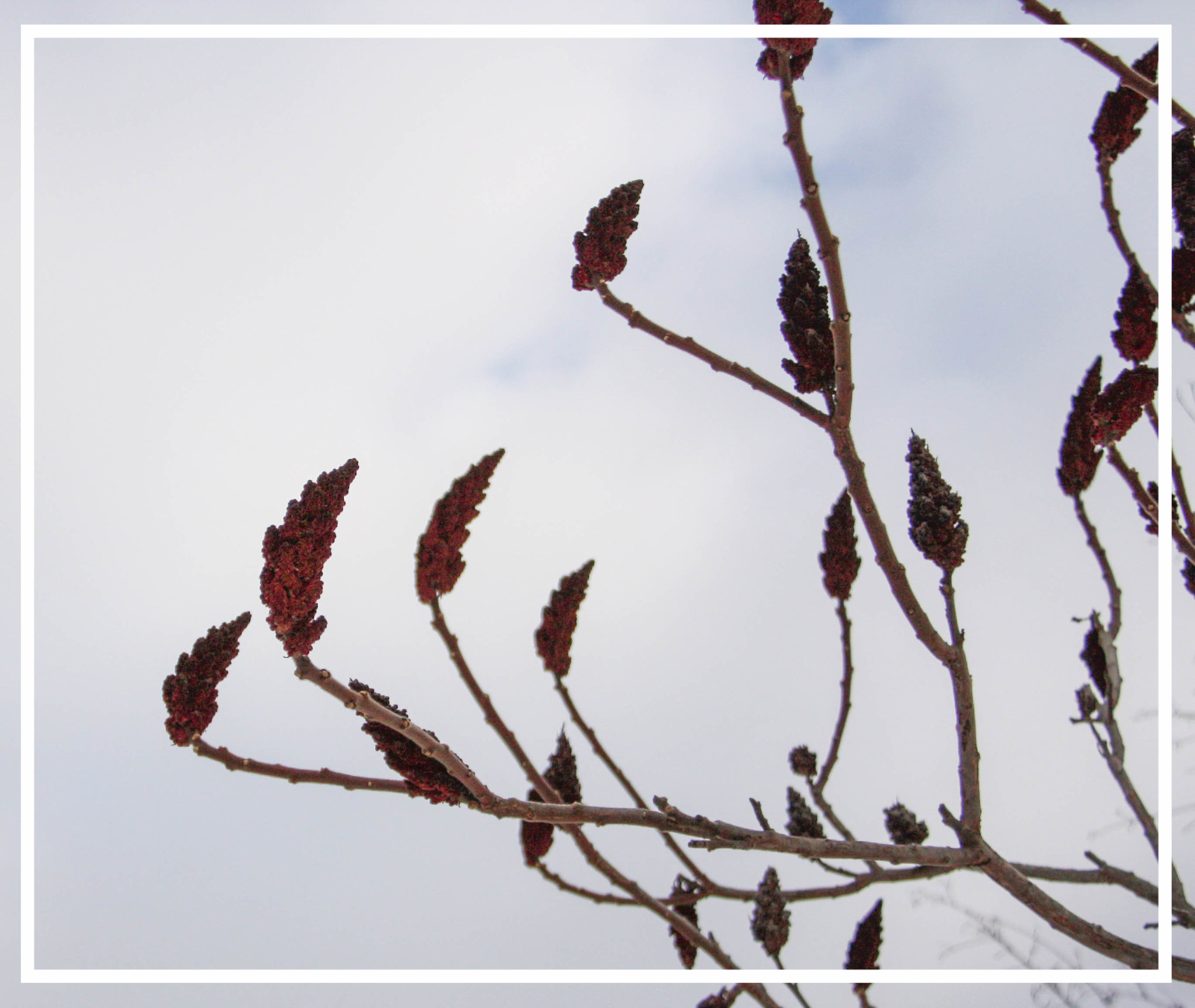 Rhus typhina 's rust-colored seedheads persist through the winter for a striking visual display.