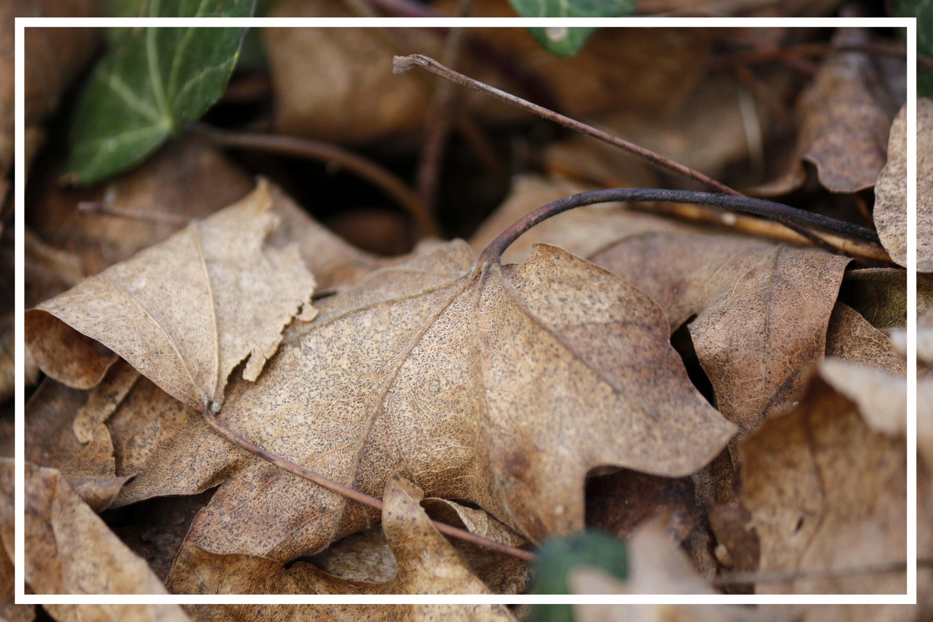 Stockpiling fall leaves is an easy way to get a large volume of carbon-rich material.