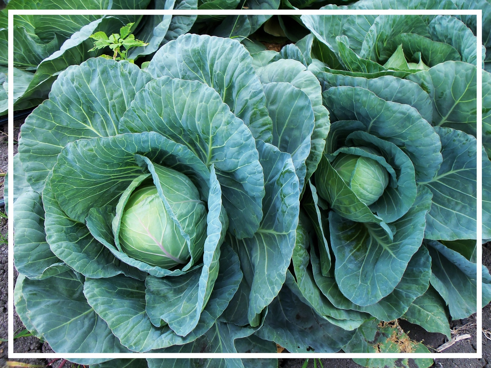 Worms tend to avoid plants in the brassica family.