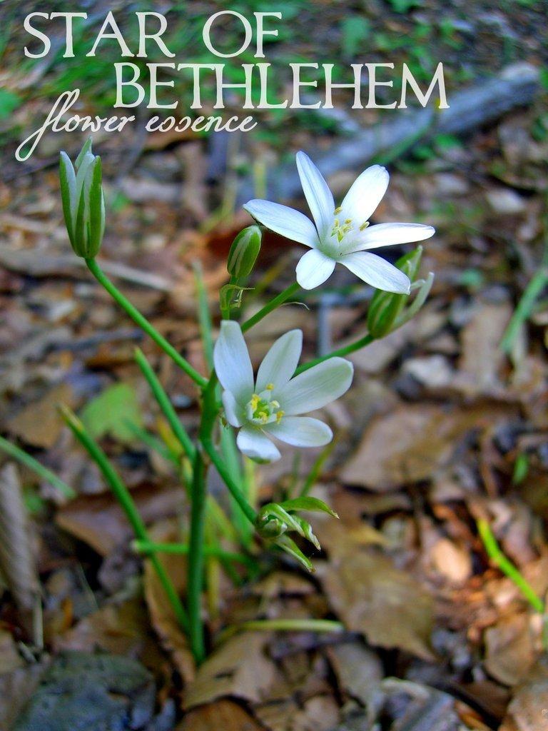 13_star_of_bethlehem_flower_essence.jpg