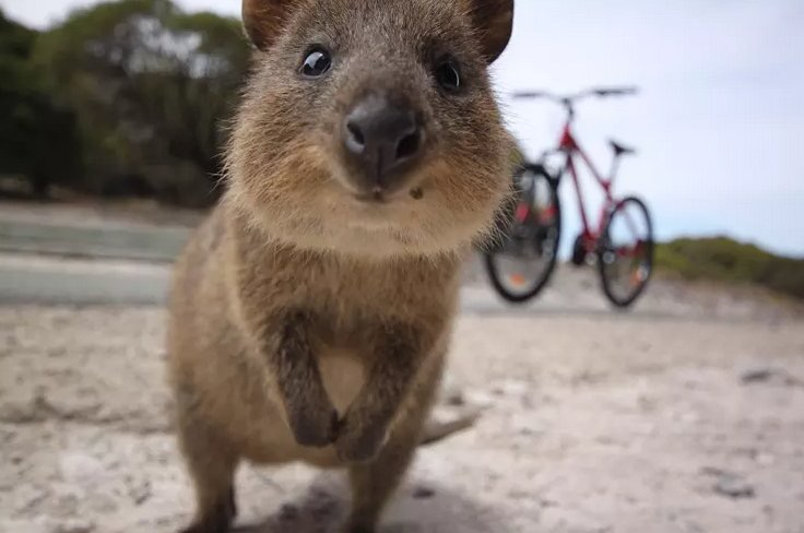 Quokka; because not everything in Australia is trying to kill you.