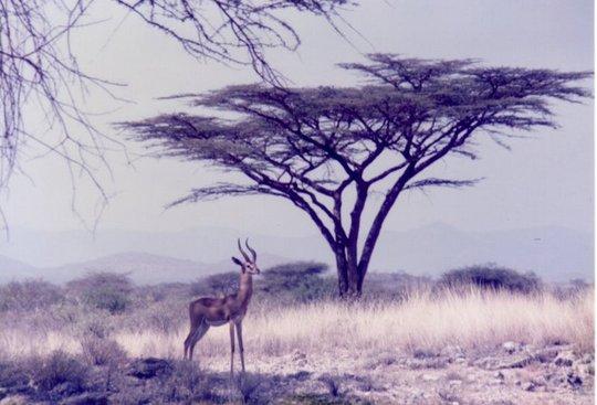 Gazelle - Kenya