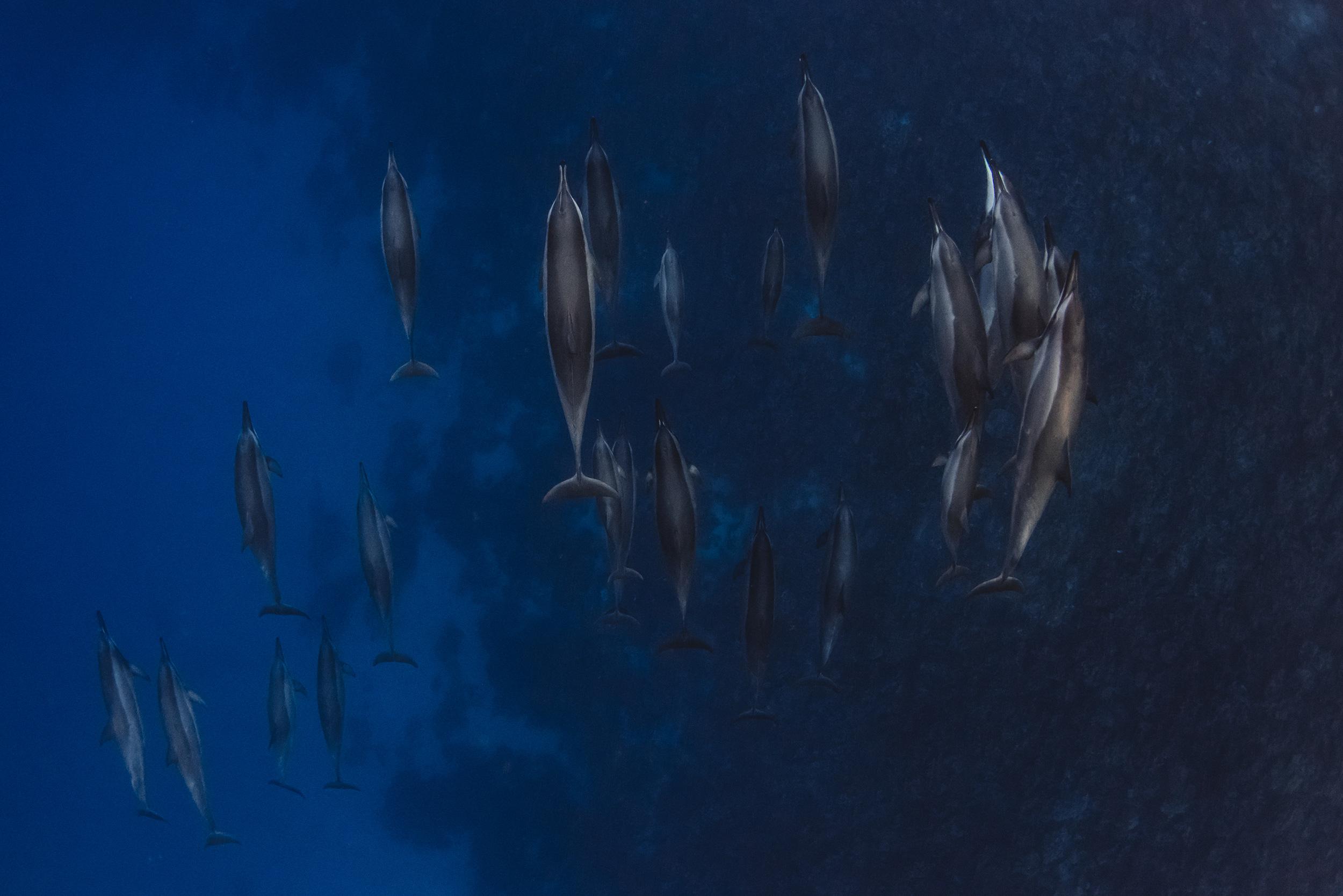 The Big island Hawaii Spinner dolphins