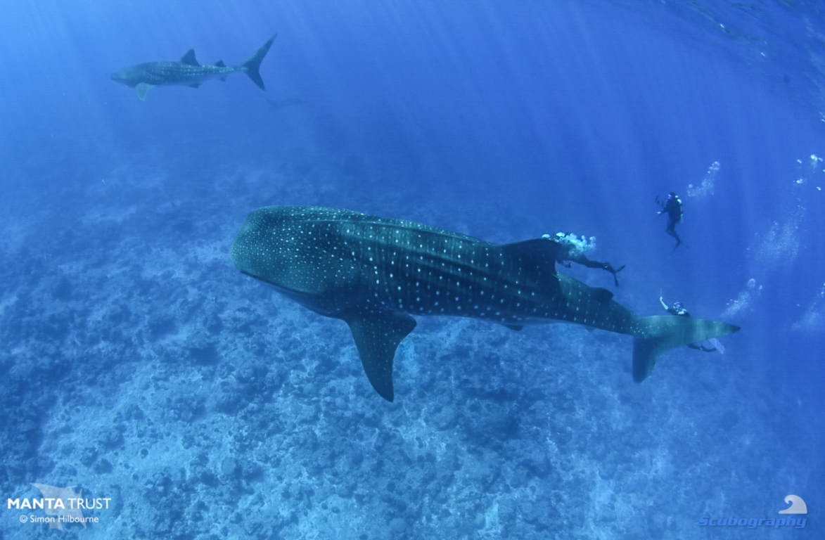 Double whale shark_Fuvahmulah_2019_Simon Hilbourne.jpg