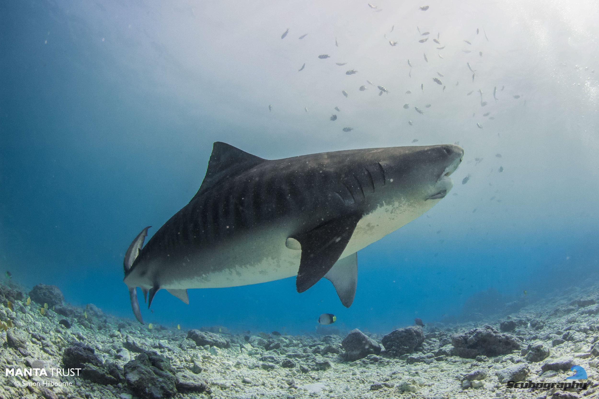 Tiger Shark_Fuvahmulah_2019_Simon Hilbourne.jpg