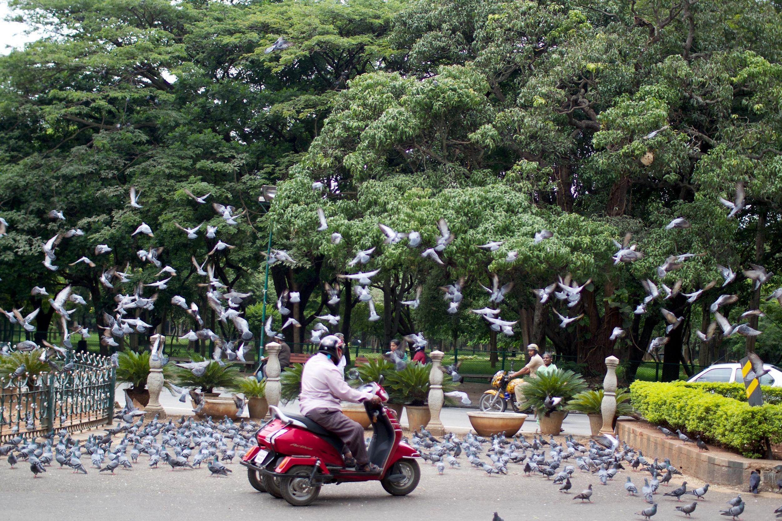 120804-11-22-32-Bangalore-Scooter-among-pigeons.jpg