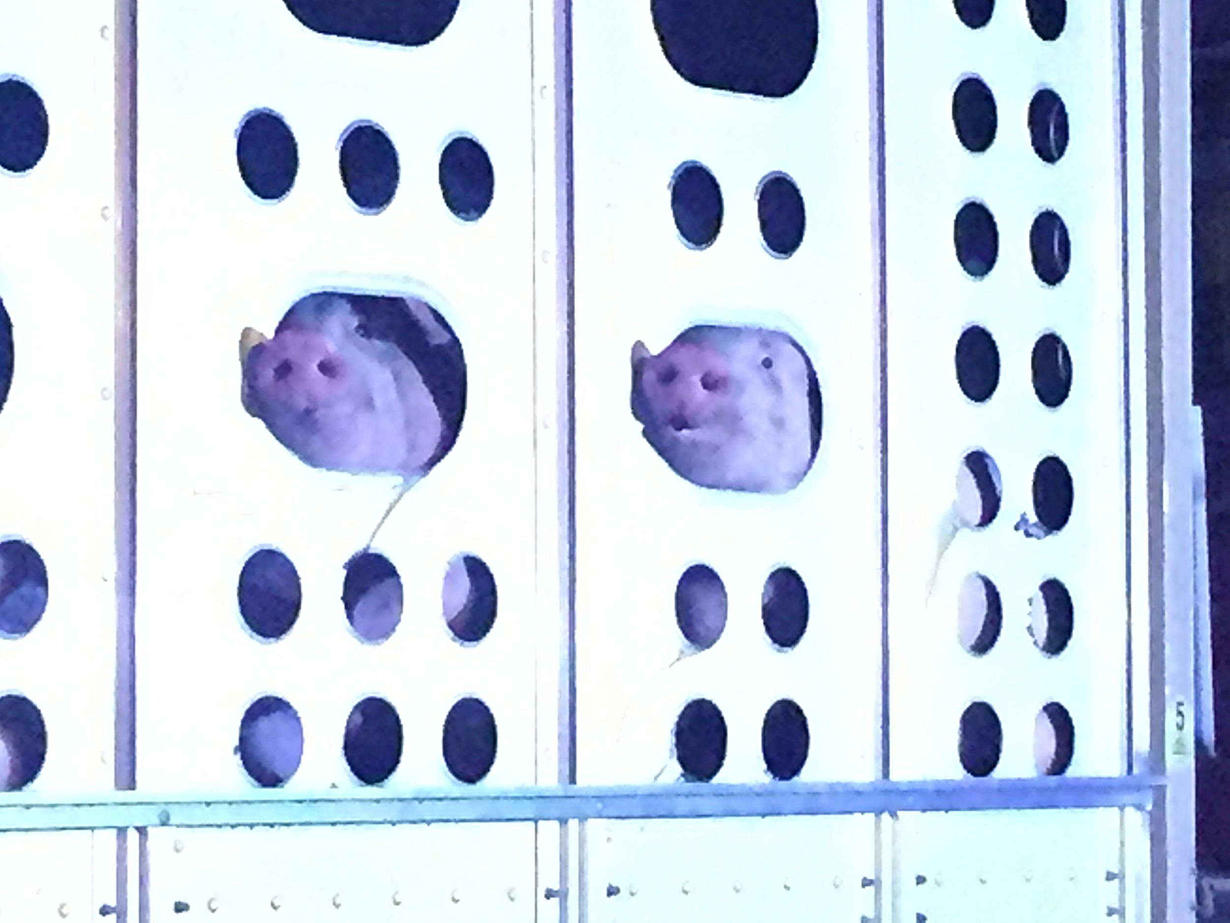 Two pigs peering out of ventilation holes seeking mercy